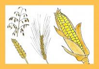 Bildkarten mit Getreidearten und Sachinformationen