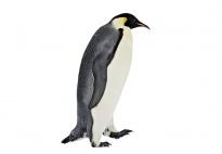 Der Pinguin: Wissenswertes über seine Lebensweise
