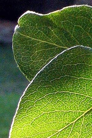 Zwetschkenbaum, Pflaumenbaum