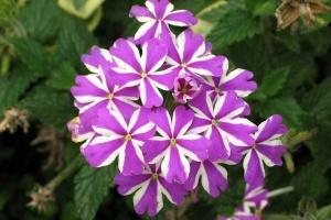 Lila Herbstblume