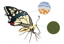 Portfolioblatt: Das Aussehen des Schmetterlings