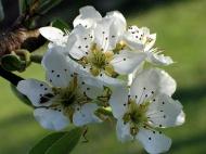 Frühling - Birnenblüte