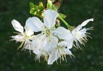 Frühling - Kirschblüte