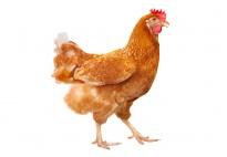 Das Huhn: Interessantes für Kinder, die mehr wissen wollen
