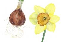 Die Pflanzenteile der Narzisse - ein Klebebild