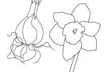 Die Pflanzenteile der Narzisse - ein Klebebild (SW)