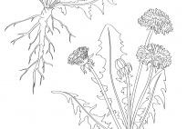 Die Pflanzenteile des Löwenzahns - ein Klebebild (SW)