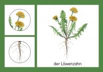 Die Pflanzenteile des Löwenzahns: Guckfenster