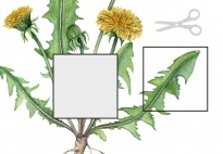 Die Pflanzenteile des Löwenzahns  - Löwenzahnbild ergänzen