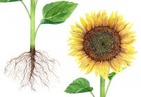 Die Pflanzenteile der Sonnenblume - ein Klebebild