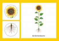 Die Pflanzenteile der Sonnenblume: Guckfenster