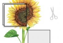 Die Pflanzenteile der Sonnenblume-Sonnenblumenbild ergänzen