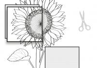 Die Pflanzenteile der Sonnenblume-Sonnenblumenbild SW