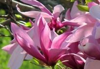 Frühling - Magnolien